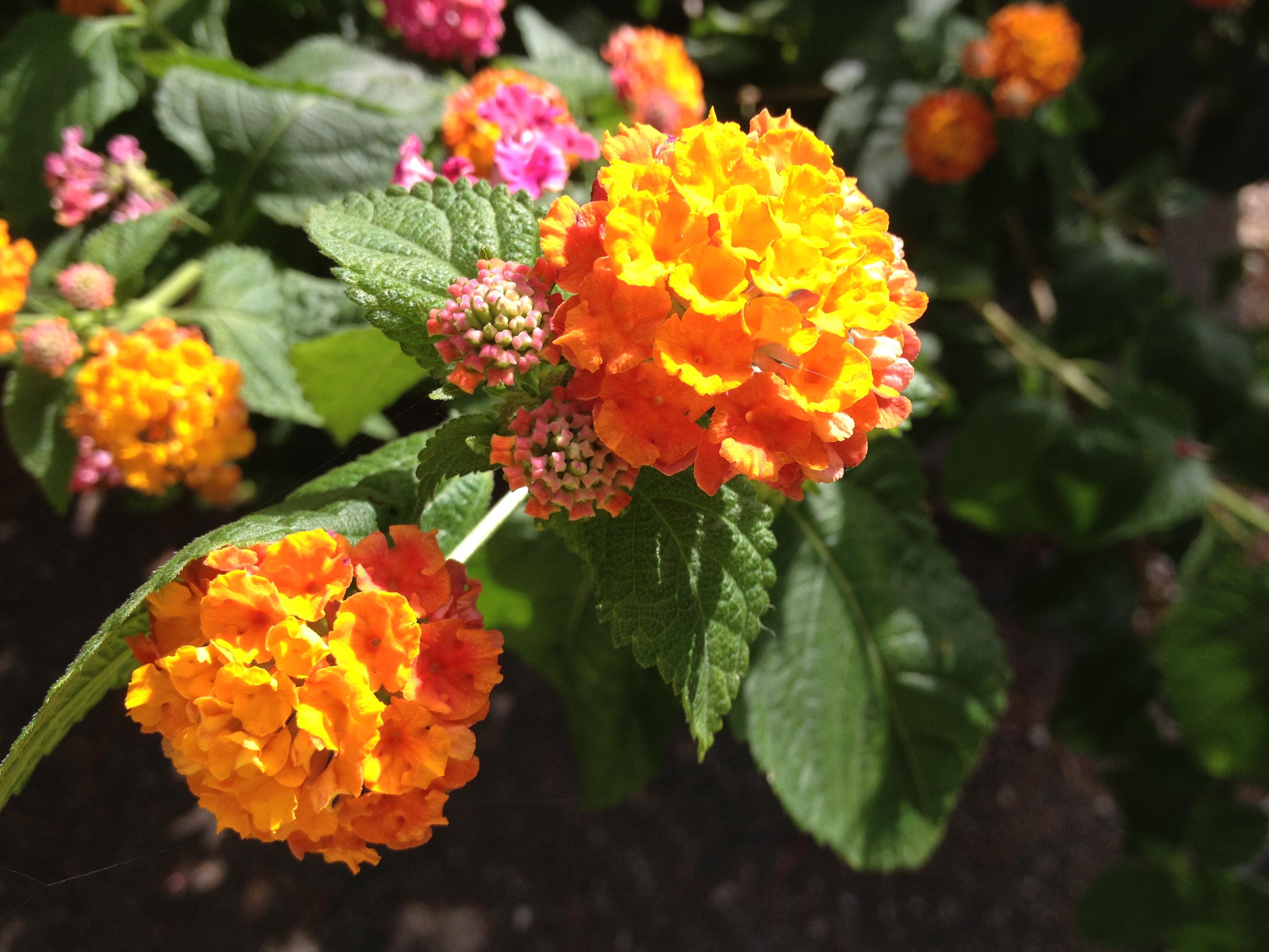 Fiori aranci